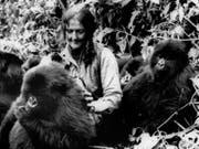 Dian Fossey (1932-1985) mit drei «ihrer» Berggorillas im Gebiet der Virunga-Vulkane in Ruanda in einer Archivaufnahme aus dem Jahr 1982. (Bild: Keystone/AP, NATIONAL GEOGRAPHIC SOCIETY/STR)