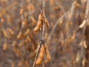 Lebensmittel mit Spuren von gentechnisch veränderten Pflanzen wie beispielsweise Sojabohnen sollen künftig in der Schweiz mit einem vereinfachten Verfahren zugelassen werden. (Bild: KEYSTONE/AP/Andre Penner)