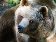 In der Slowakei ist ein Braunbär durch eine Stadt gestreift und hat die Bewohner aufgeschreckt. (Bild: KEYSTONE/GAETAN BALLY)