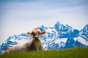 Landwirtschaftliche Idylle: Ein Kuh vor dem noch immer verschneiten Säntis. Bild: Gian Ehrenzeller/Keystone
