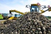 Die Zuckerrübenernte wird auf dem Feld auf die Traktor-Anhänger verladen. (Bild: Donato Caspari)