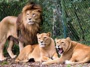 Eine Löwengruppe aufgenommen in einem Gehege im Serengeti-Park Hodenhagen am Südrand der Lüneburger Heide in Niedersachen. (Bild: Keystone/DPA-Zentralbild/WALTRAUD GRUBITZSCH)