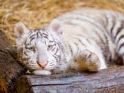 Weiss statt goldgelb: Die ungewöhnliche Farbe entsteht bei Tigern wegen einer seltenen Genmutation, die vor allem bei in Gefangenschaft geborenen Tieren der Art vorkommt. (Bild: KEYSTONE/EPA MTI/CSABA KRIZSAN)