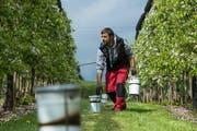 Der Grosswanger Obstbauer Lukas Meyer verteilt Frostkerzen und Holzschnitzel in seiner Plantage, um die Blüten vor dem drohenden Frost zu schützen. (Bild: Dominik Wunderli, Grosswangen, 6. Mai 2019)