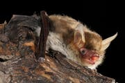 Das Kryptische Mausohr wiegt bloss 5 bis 10 Gramm, hat jedoch eine respektable Flügelspannweite von gut 25 Zentimetern. Sie ernährt sich von Kleininsekten wie Fliegen und Mücken sowie von Spinnen. Bild: René Güttinger/RG Blick