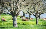 So soll es sein: Diese Kühe bei Fimmelsberg geniessen abfallfreie Wiesen. (Bild: Andrea Stalder)