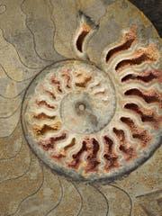 Ein Ammonitenquerschnitt (Bild: PD)