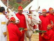 Die beiden Ochsen prophezeien eine gute Reisernte in Thailand. (Bild: KEYSTONE/EPA/RUNGROJ YONGRIT)