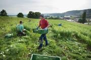 Die Zuwanderung osteuropäischer Arbeiter könnte ansteigen. Im Bild Erntehelfer in Kerzers. (Bild: Gaëtan Bally/Keystone, 21. Mai 2014)
