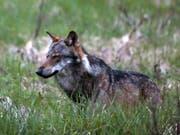 Ein Wolf im Obergoms. Künftig sollen Wölfe einfacher abgeschossen werden können. Ob das noch der Berner Konvention entspricht, ist fraglich. (Bild: KEYSTONE/MARCO SCHMIDT)