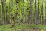 Die Rotbuchen (Fagus sylvatica) werden im Mittelland verschwinden, wenn der Klimawandel nicht gestoppt wird (Bild: KEY)