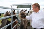 Lamas sind zwar Fluchttiere, doch auch sehr neugierig. (Bild: Ines Biedenkapp)