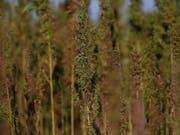 13'000 Cannabis-Pflanzen stellte die Griechische Polizei bei Athen sicher. Das sei «der grösste Fund aller Zeiten». (Bild: Keystone/EPA ANA-MPA/ORESTIS PANAGIOTOU)