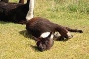 Das Lama fühlt sich wohl und legt sich in die Sonne zum schlafen. (Bild: Ines Biedenkapp)