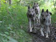 Wölfe geraten ab und zu in Konflikt mit Anlagen der Zivilisation: In der Nacht auf Sonntag wurde auf dem Julierpass ein Wolf von einem Auto überfharen (Archivbild). (Bild: KEYSTONE/MAXIME SCHMID)