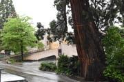 Die Tage des Mammutbaums bei der Migros Herisau sind gezählt. (Bilder: Mea McGhee)