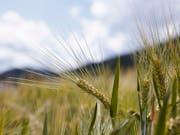 Pilzerkrankungen können schwere Ernteeinbussen bedeuten. Forschende haben Gerste ein Gen aus Weizen eingebaut, das sie resistent macht gegen mehrere Pilzkrankheiten. (Bild: KEYSTONE/GAETAN BALLY)