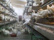 In den letzten fünf Jahren stieg die Hühnereier-Produktion in der Schweiz um 20 Prozent. Und weil auch mehr Poulet gegessen wurde, ging der Fleischkonsum insgesamt trotz Reduktion des Bestands an Schlachtrindern und -schweinen nicht zurück. (Bild: Keystone/GAETAN BALLY)