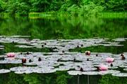 Zwischen zwei Regenschauern liegt der Bubenweier spiegelglatt da. Die ersten Seerosen blühen auf Drei Weieren ebenfalls bereits. Am Wochenende könnte es vom Wetter her sogar für ein Bad in den noch immer etwas kühlen Fluten des Mannen- oder des Chrüzweiers reichen. (Leserbild: Franz Häusler- 10. Juni 2019)