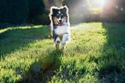 Tests wurden unter anderem mit Shetland Sheepdogs gemacht. (Bild: Getty)