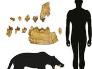 Ein Basler Forscher hat eine unbekannte Gattung eines über 40 Millionen Jahre alten Raubtiers entdeckt. Die Zähne und Kieferfragmente werden bereits seit 100 Jahren in den Sammlungen des Naturhistorischen Museums Basel aufbewahrt. (Bild: Handout Naturhistorisches Museum Basel)