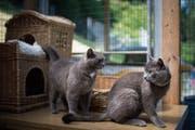 Die Geschwisterkatzen Minusch und Tipsj warten im Tierheim Sitterhöfli auf ihr neues Plätzchen. (Bild: Benjamin Manser)