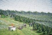 Die Kirschenplantage von Walter Stettler, die mit einem Netz geschützt ist. (Bild: Colin Frei)