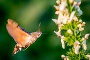 Das Taubenschwänzchen ist ein Nachtfalter aus der Familie der Schwärmer. Wegen seines auffälligen Flugverhaltens, das als Schwirrflug bezeichnet wird und das dem eines Kolibris ähnelt, wird es auch Kolibrischwärmer genannt. Zahlreiche vermeintliche Sichtungen von Kolibris in Europa gehen auf diese Schmetterlingsart zurück. Im Bild aus St.Gallen bedient sich das Taubenschwänzchen aus den Blüten des Aufrechten Ziest. (Leserbild: Franz Blöchlinger - 23. Juni 2019)