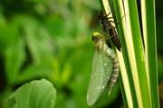 Leserbild Ingrid Zürcher fotografierte die frisch geschlüpfte Mosaikjungfer im Familiengarten Feldli. Sobald die Flügel getrocknet sind, wird die Libelle abschwirren.