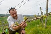 Blauburgunder -Traubenblüten an den Reben vom Weingut Sunnehalde von Markus Müller . (Archivbild: Donato Caspari)