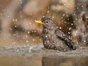 Vögel vertragen die Hitze in der Regel gut. Trotzdem kühlen auch sie sich gerne in einem Bad ab. (Bild: Keystone/Beat Rüegger)