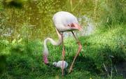 Ein Flamingo mit seinem Jungtier. (Bild: PD/Walter-Zoo)