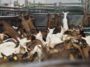 Abfallprodukt der Milchwirtschaft: Wenige Wochen alte Zicklein im Schlachthof. (Bild: Schweizer Tieschutz STS)