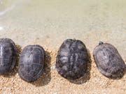 In der Schweiz werden jedes Jahr mehrere hundert Schildkröten ausgesetzt. Die Auffangstation in Chavornay VD wurde vergrössert und hat nun Platz für bis zu 4500 Tiere. (Symbolbild). (Bild: KEYSTONE/CYRIL ZINGARO)