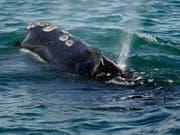 Eine Atlantische Nordkaper vor der Küste von Plymouth, Massachusetts - die Wal-Art ist stark vom Aussterben bedroht. (Bild: KEYSTONE/AP/MICHAEL DWYER)