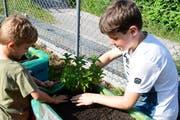 Zwei Buben pflanzen im Rahmen der Projektwoche Kräuter an für den Garten der Primarschule Ottoberg. (Bild: PD/Werner Lenzin)