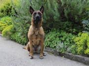 Polizeihund Deluxe erschnüffelte Bargeld und Kokain. (Bilder: Zuger Polizei)