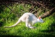 Inala auf dem Weg ins Gehölz. Albino-Kängurus sind eher Einzelgänger, glaubt Tamara Krapf. (Bilder: Urs Bucher)
