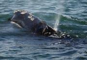 Ab Montag beginnt Japan wieder offiziell mit dem Walfang. Bild: Michael Dwyer/AP