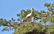 Die Störche bauen wieder vermehrt Nester auf Bäumen.