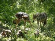 Wolfsvater Oka (l) hilft Mutter Artemis (r) bei der Aufzucht. Gemäss Zürcher Forschenden ermöglicht sein Engagement die Entwicklung grösserer Hirne bei der Brut. Denn im Tierreich bietet der Vater die zuverlässigere Unterstützung als der Rest vom Rudel. Bei den Menschen ist es anders. (Bild: Keystone/AP/JEFF ROBERSON)