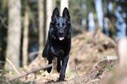 Der Zuger Polizeihund «Wyk» rettete einen stark unterkühlten Jugendlichen. (Bild: Zuger Polizei)