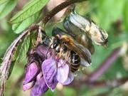 Eine Zaunwicken-Sandbiene, die auf Pollen von Wicken und Platterbsen spezialisiert ist. (Bild: André Rey)