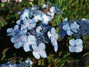 Eine «Endless Summer» mit kleinen flachen Blüten. (Bild: PD)