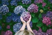 Pralle Blumenkugeln: Damit blaue Hortensien auch wirklich blau blühen, brauchen sie einen säurehaltigen Boden. (Bild: Getty)