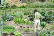 Das Gemüse will gegossen werden. (Bild: Mathias Frei)