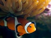Künstliches Licht stört die Fortpflanzung der Clownfische. (Bild: KEYSTONE/ALESSANDRO DELLA BELLA)