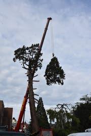 Die Krone des Herisauer Mammutbaums wurde abgesägt und per Kran abtransportiert. (Bilder: Mea McGhee)
