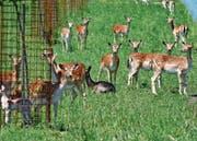Aus der Nähe sehen kann man die Tiere nur mit dem Fernglas oder dem Teleobjektiv. (Bild: Kurt Latzer)