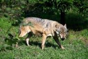 Wer im Kanton Schwyz einen Wolf sichten möchte, dem bietet sich im Tierpark Goldau die beste Möglichkeit. (Bild: Remo Nägeli (Goldau, 7. Oktober 2008))